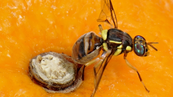 Morocco Sets up Pest Surveillance Network to Suppress Medfly, Promotes Sterile Insect Technique